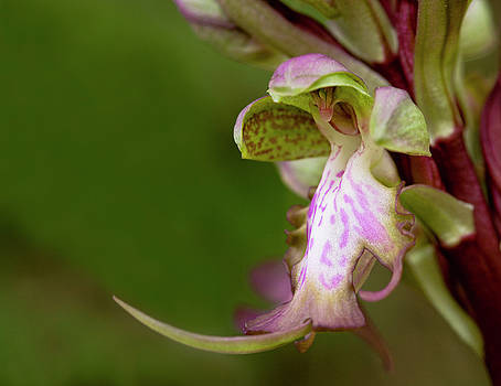 Wild orchid flower by Michalakis Ppalis