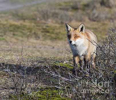 Compuinfoto   - wild red fox in Holland sideview