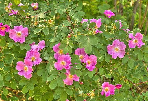 Wild Roses by Jim Sauchyn