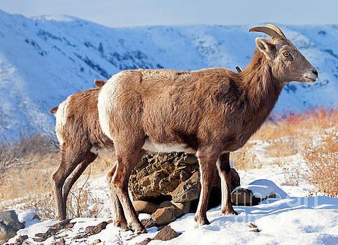 Mike Dawson - Winter Bighorn