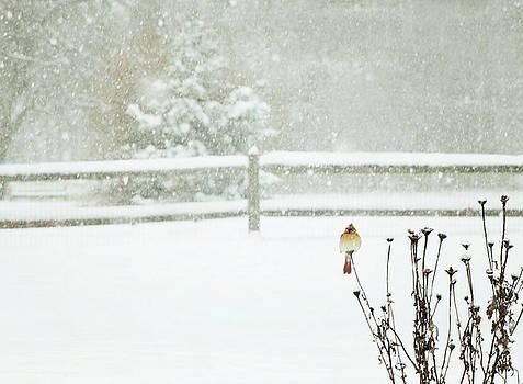 Winter Cardinal by Sue Collura
