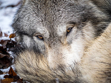 Wolf Curled up in Snow by Jay Huron