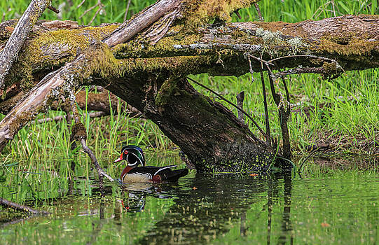 Wood Duck  by Sam Amato
