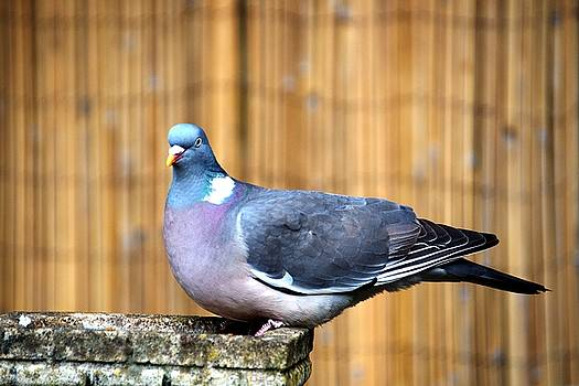 Woodpigeon by Chris Day