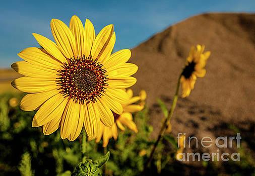 Wyoming Daisy by Thomas Levine