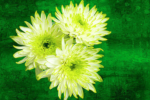 Yellow Chrysanthemums on a green background. by Paul Cullen