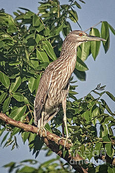 Yellow-crowned Night Heron by Bob Hislop