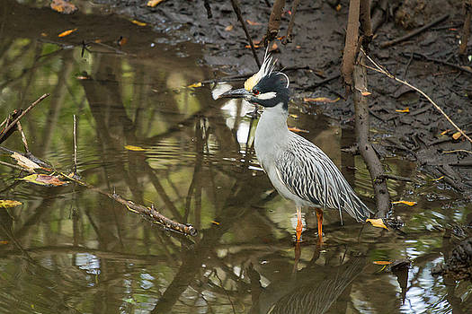 Yellow-Crowned Night Heron by Toni Thomas