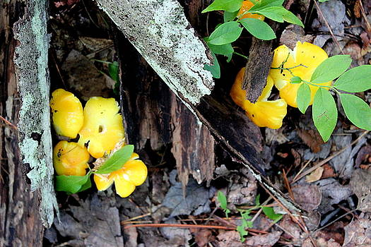 Yellow Fungi by Brian Lucia