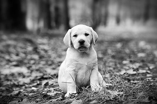Yellow Labrador retriever puppy by Waldek Dabrowski