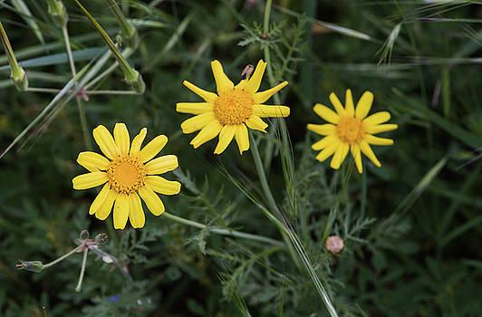 Michalakis Ppalis - Yellow marguerite flowers