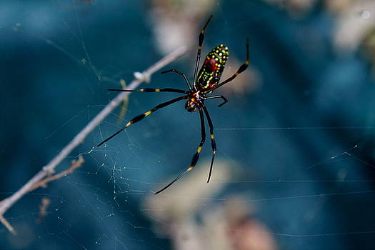 Yellow Orb Spider by L L