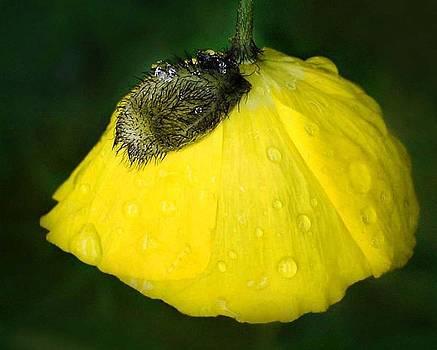 Yellow Poppy by Marilynne Bull