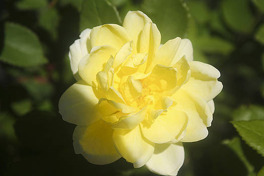 Kevin  Sherf - Yellow Rose of New Jersey