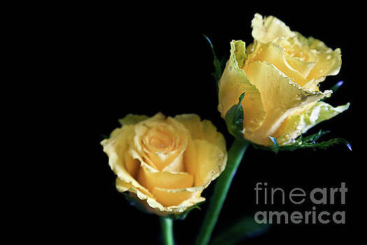 Yellow Roses by Tracy Hall