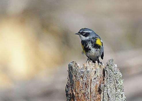 Yellow Rumped Warbler by Jack Nevitt