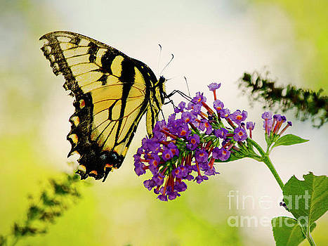 Yellow Tiger Swallowtail Butterfly by Carol F Austin