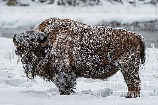 Tibor Vari - Yellowstone Bison in Winter