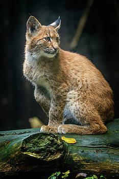 Young Carpathian lynx by Libor Vrska