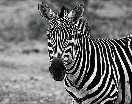 Zebra Portrait by Sally Weigand