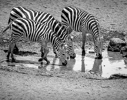 Zebras at the Watering Hole by Marion McCristall