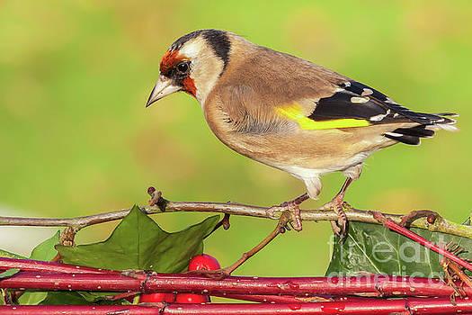 Simon Bratt Photography LRPS - European goldfinch bird close up