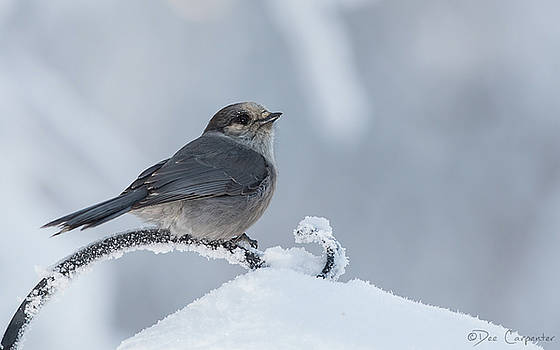 Gray Jay by Dee Carpenter