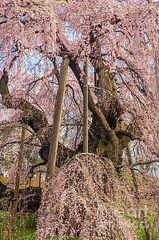 Miharu Takizakura Weeping Cherry10 by Tatsuya Atarashi