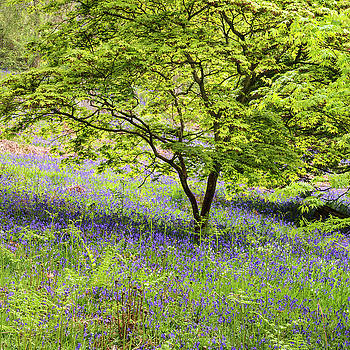 Stunning vibrant landscape image of blubell woods in English cou by Matthew Gibson