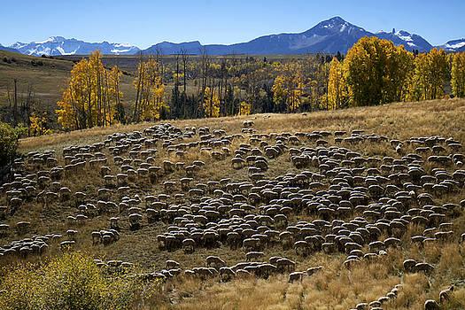 Mary Lee Dereske - 1000 Sheep Above Telluride Colorado