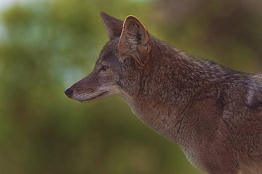 Coyote by Brian Cross