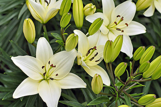 LS Photography - Lilies