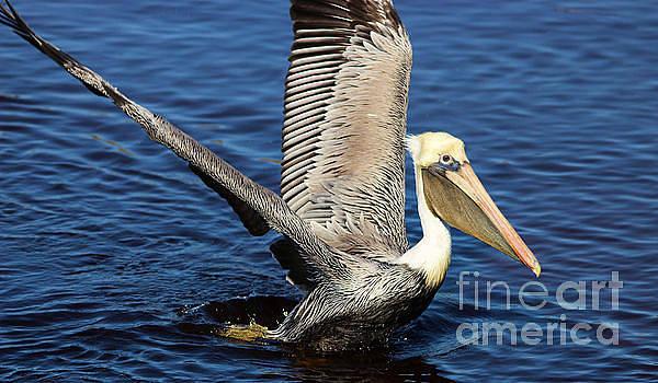 Paulette Thomas - Beautiful Pelican