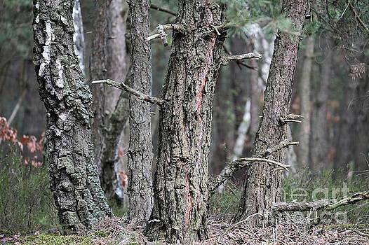Pine Trees by Dariusz Gudowicz