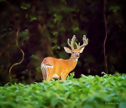 12 Point Buck by Brian Wallace