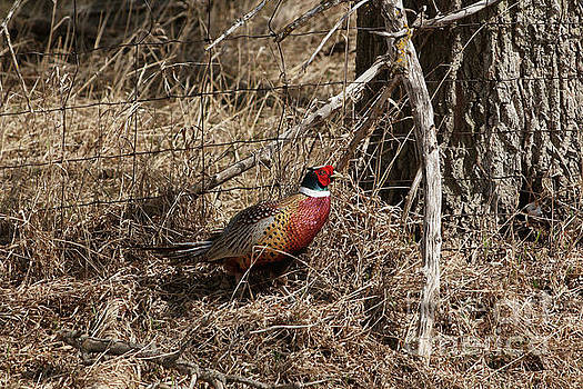 Ring-necked  Pheasant  by Lori Tordsen