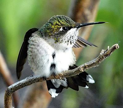 Cindy Treger - Ruby-throated Hummingbird - Tip Of His Tongue