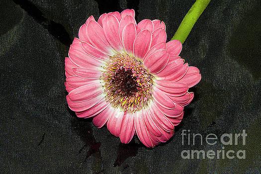 Pink Gerber by Elvira Ladocki