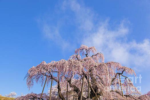 Miharu Takizakura Weeping Cherry13 by Tatsuya Atarashi