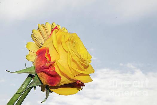 Rose With Gerber by Elvira Ladocki