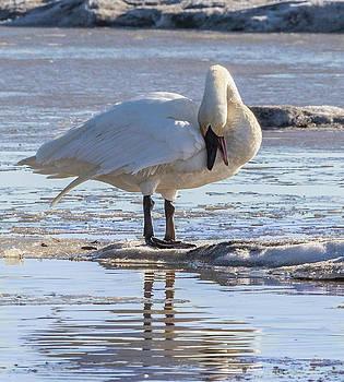 Dee Carpenter - Trumpeter Swan
