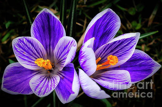Crocus in Bloom by Thomas R Fletcher