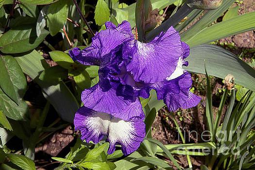 Nice Iris by Elvira Ladocki