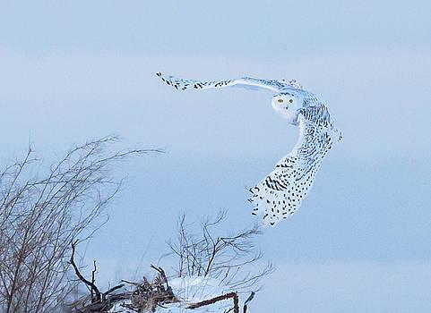 Dee Carpenter - Snowy Owl