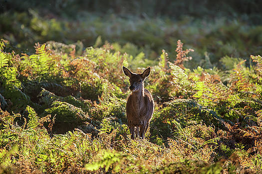 Young hind doe red deer in Autumn Fall forest landscape image by Matthew Gibson