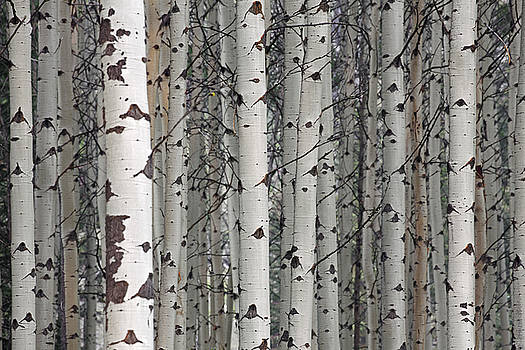 Arterra Picture Library - Quaking aspen trees