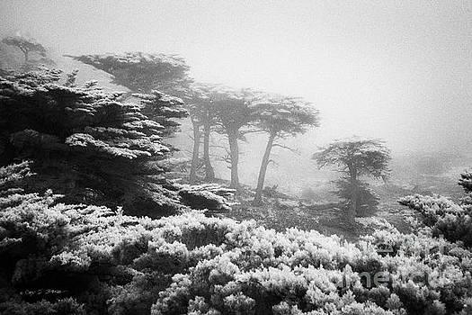 17 Mile Drive Cyprus Tress  by Craig J Satterlee