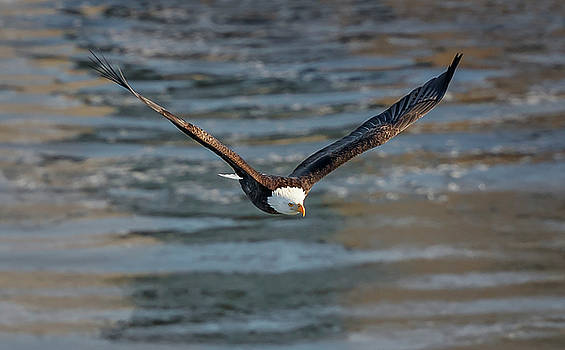 Bald Eagle by Peter Lakomy