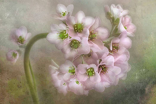 1st Place Botanicals Online Art Exhibition - Bergenia Enhanced by Dianne English