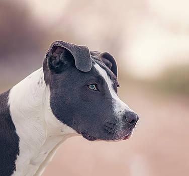 American Pitbull Terrier by Peter Lakomy